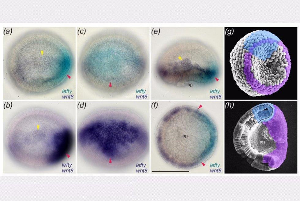 iz-dissertacii-phd-morova-ar_ekspressiya-gena-lefty-i-gena-wnt8-v-otdelnom-embrione