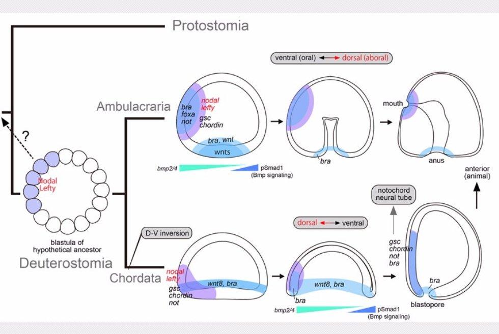 iz-dissertacii-phd-morova-ar_filogeneticheskie-otnosheniya-mezhdu-dorsalnymi-strukturami-hordovyh-i-rotovoj-ektodermoj-ambulacraria