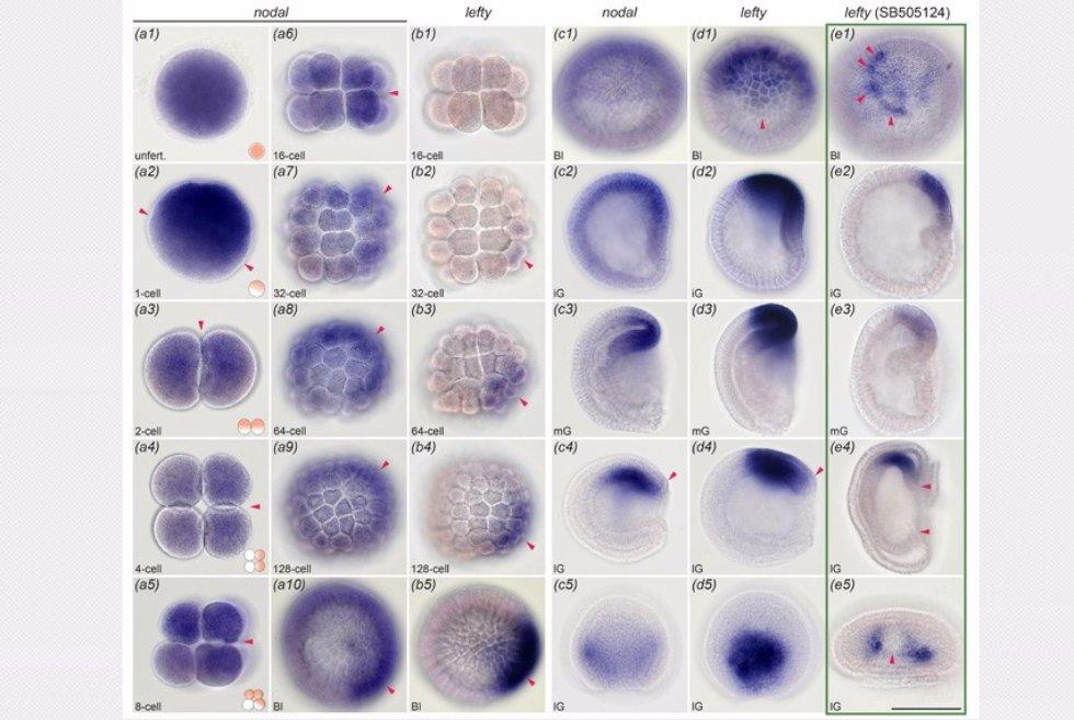 iz-dissertacii-phd-morova-ar_materinskaya-i-zigoticheskaya-ekspressiya-gena-nodal-i-gena-lefty